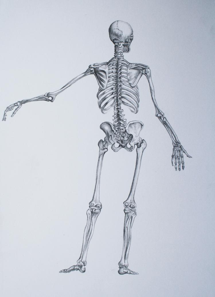 Megan Mcdonald Albinus Skeleton Drawings