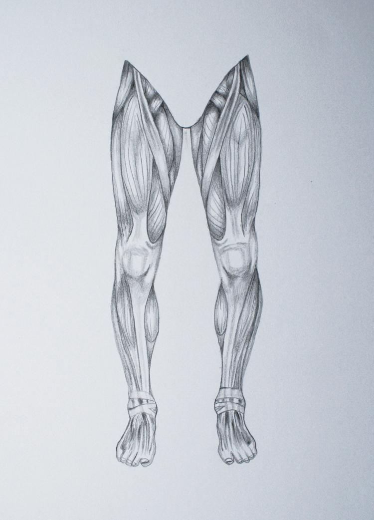 leg muscles drawing - photo #4